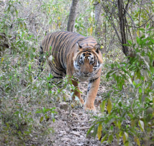 ranthambore tiger tour